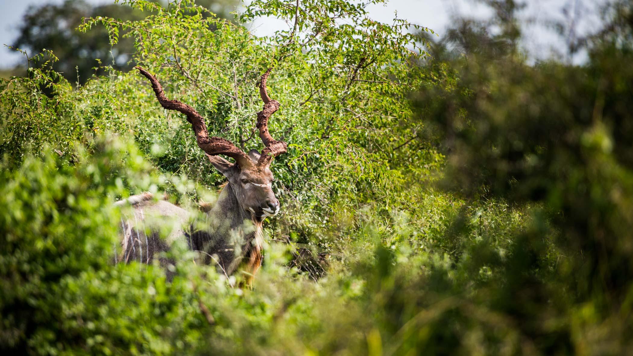 Kudu Zuid Afrika