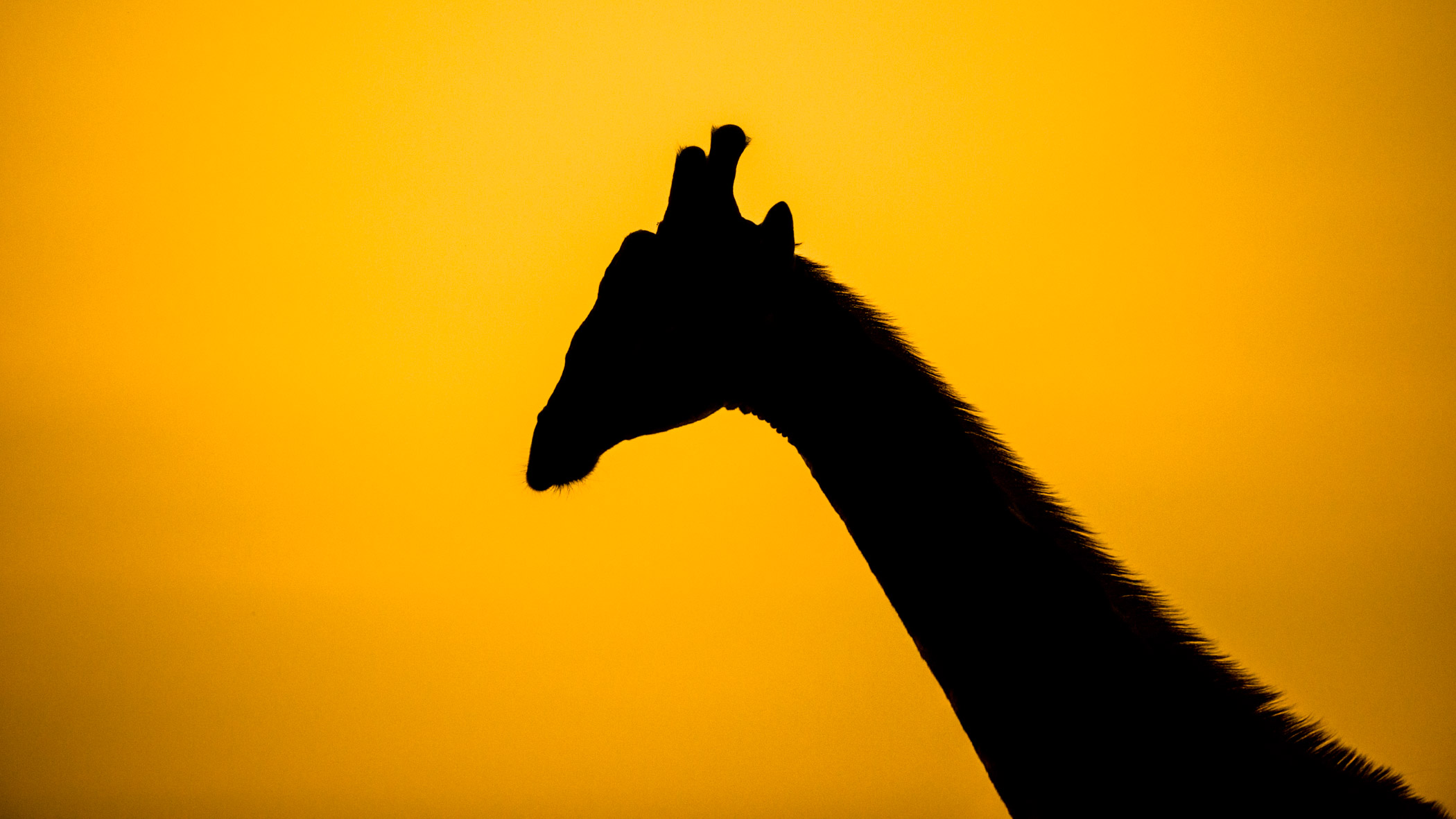 Giraffe Silhoutte Zuid Afrika
